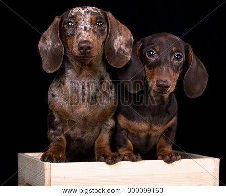 Tvo Dogs dachshunds puppy , dog portrait