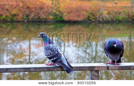 Two Pigeon Sitting On The Handrail