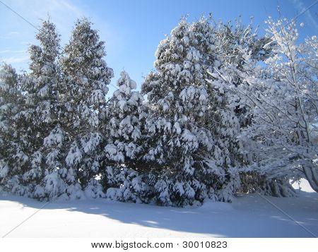 Cedar tree in the snow season