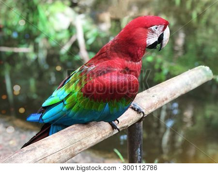 Colorful Parrot Macaw. Tropical Bird. Scarlet Macaw