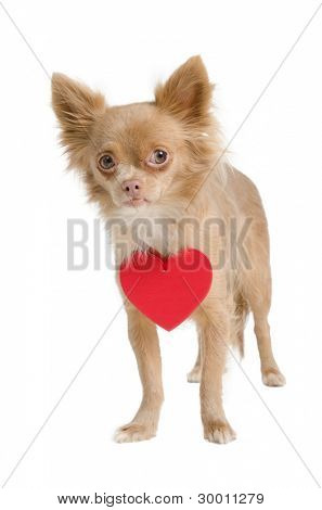 Chihuahua puppy with red heart valentine necklace
