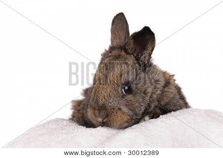 grey baby rabbit isolated