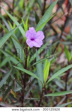 Beautiful Purple Ruellia Simplex Flower In The Garden