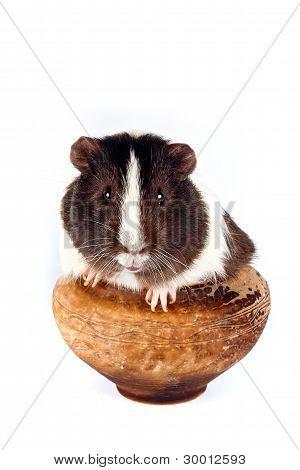 Guinea Pigs In A Clay Pot