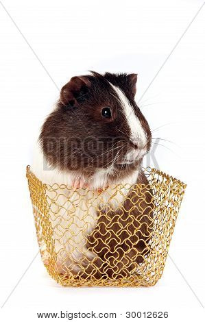 Guinea Pigs In A Gold Basket
