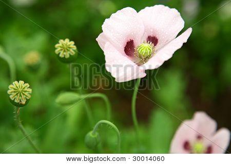 Pink Poppy In The Garden