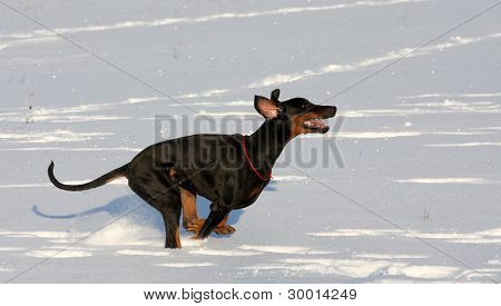 Doberman  Running In Deep Snow