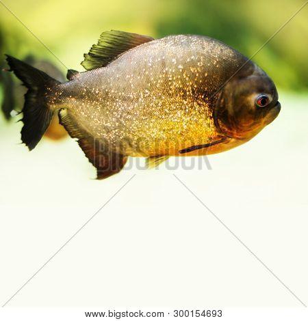 Red Bellied Piranha Pygocentrus Nattereri, Serrasalmidae Family. Dangerous Carnivore Fish Predator F