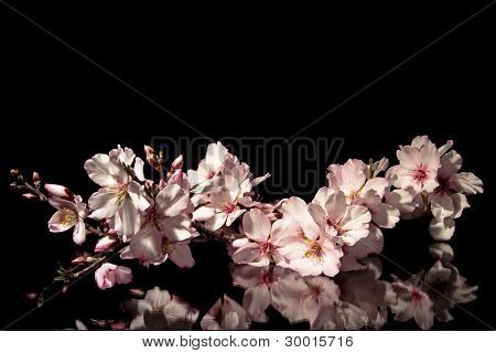 Branch of blossoming almond flower on a black background