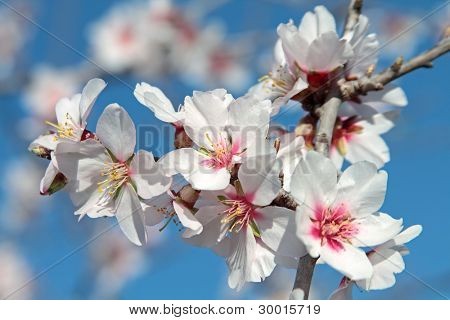 Blossoming almond flower against a blue sky