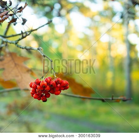 Red Autumn Berries Cluster In Daylight Forest With Copy Space