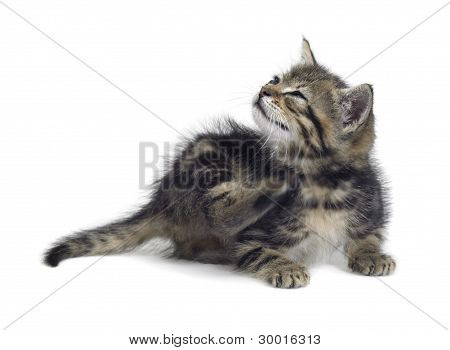 Scraping Cute Kitten