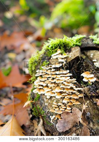 Wild Mushrooms Growing On Mossy Tree Stump In Autumn Forest