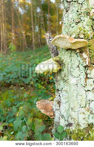 Flat Mushrooms Growing Out Of Tree Trunk In Autumn Forest