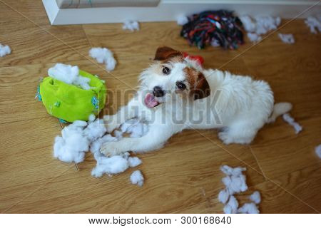 Dog Mischief. Funny And Guilty Jack Russell Destroyed A Fabric And Fluffy Ball And Toys At Home. Hig