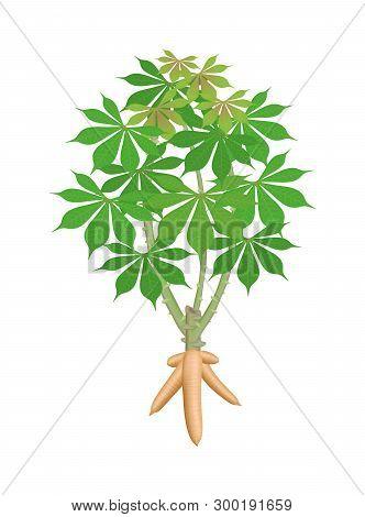 Cassava Tree Plant, Cassava Rhizomes Isolated On White Background, Manioc Cassava Roots Underground