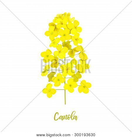 Rapeseed Blossom Isolated On White. Flowering Canola Or Colza. Brassica Napus. Blooming Rape Yellow