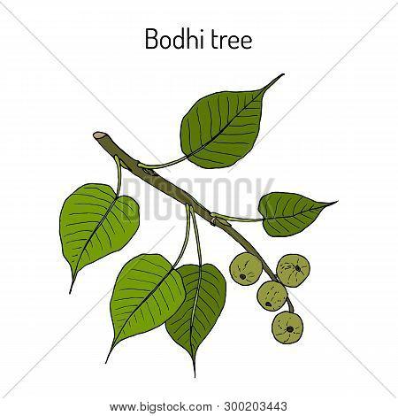Sacred Fig, Or Bodhi Tree Ficus Religiosa , Medicinal Plant. Hand Drawn Botanical Vector Illustratio