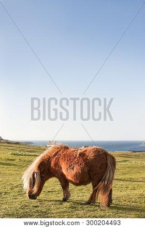 Shetland Pony Photographed In Shetland Isles, North Of Scotland, Uk.