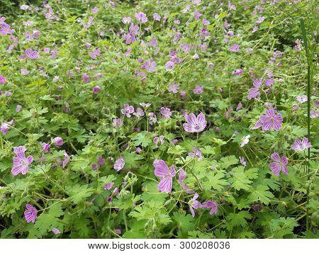Geranium Sanguineum, Flower Of Wood Cranesbill, Geranium Sylvaticum