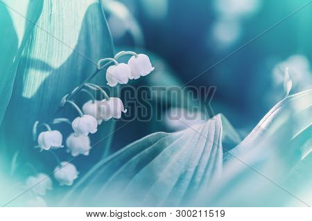 Beautiful White Blooming Lily Of The Valley Flowers With Green Leaves On Blurry Background. Toned Wi