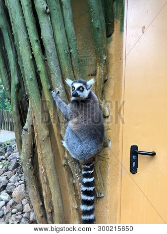 A Lemur Hangs On The Outside Wall Of A Zoo Building And Looks Around