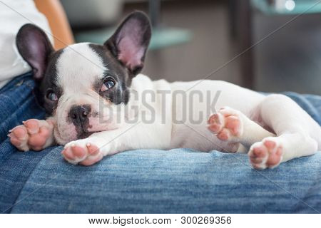 French bulldog puppy sleeping on knees