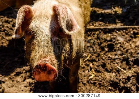 Curious Pig In A Pigpen At Farmyard