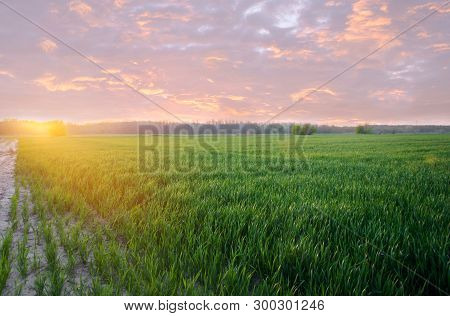 Young Green Wheat Seedlings Growing In A Field On The Sunset. Agriculture. Farming. Cultivation Of W
