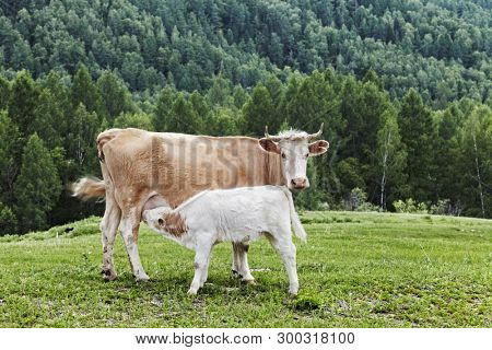 Mountain landscape with cows and forest