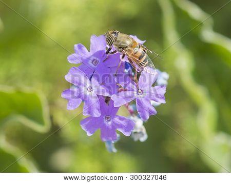 Close-up Detail Of A Flower Fly Eristalinus Taeniops Feeding On Purple Elizabeth Earle Flowers Primu