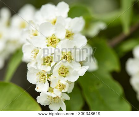 Beautiful, Fragrant, White Flowers Of The Bird Chert (prunus Padus, Hackberry, Hagberry, Or Mayday T