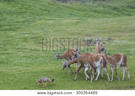 South American Grey Fox (lycalopex Griseus) Searching For Food Amongst A Group Of Guanaco (lama Guan