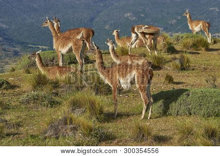 Guanaco (lama Guanicoe) In Valle Chacabuco, Northern Patagonia, Chile.