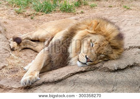 Male Lion Lying On A Rock Shaking Sleeping. Male Lions Spend 18 To 20 Hours A Day Sleeping, And Foll
