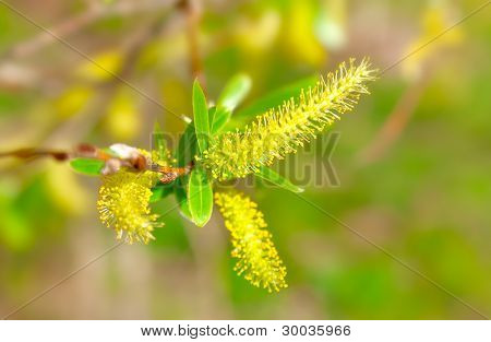Macro Shot Of Blooming Willow Tree. Salix Caprea. Summertime