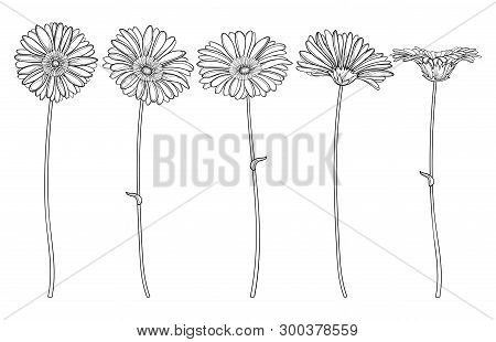 Vector Set With Outline Gerbera Or Gerber Flower And Ornate Bud In Black Isolated On White Backgroun