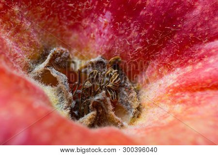 Sepals And Remains Of Stamens Near A Red Apple. Macro Photography