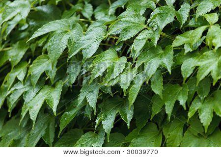 Wild grape leafs