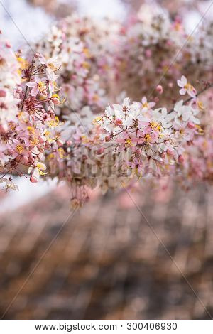 Cassia Bakeriana Flowering/blooming Pink Cassia With Blur Background/pink Shower Tree In Thailand/lo