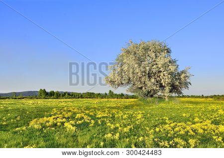Beautiful Spring Landscape. Blooming Apple Tree On The Meadow Among Yellow Flowers At Bright Spring