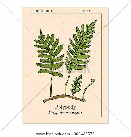 Common Polypody Polypodium Vulgare , Medicinal Plant. Hand Drawn Botanical Vector Illustration