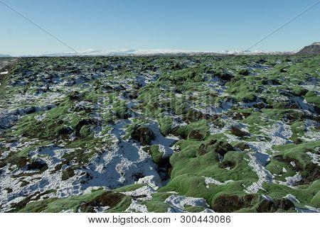 Iceland Moss On Lava Rock fields.iceland Moss (cetraria Islandica) Is A Lichen