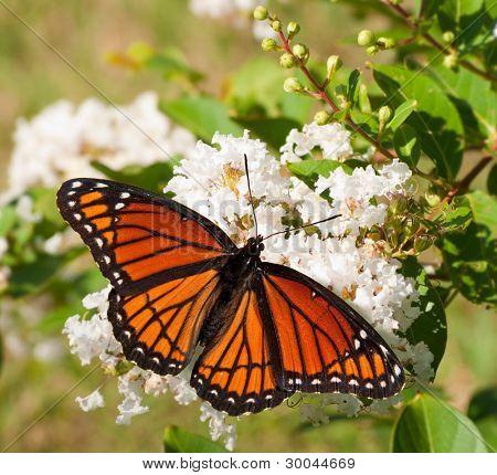 Vizekönig Schmetterling Fütterung auf einem Cluster von weißen Blumen in einem Garten