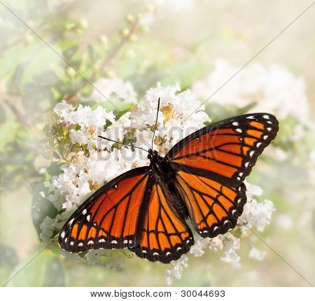 Dreamy image of a Viceroy butterfly feeding on a white Grape Myrtle