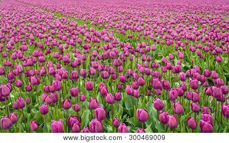 Full Screen Image With Purple Colored Tulips In Flower Beds At A Specialized Dutch Bulb Nursery. It