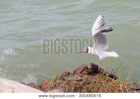 A Flying Gull At The Lakeshore With Stones