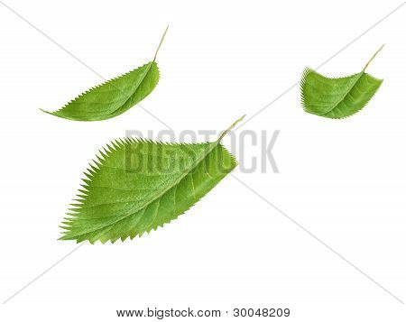 Green fresh leaves isolated on white background