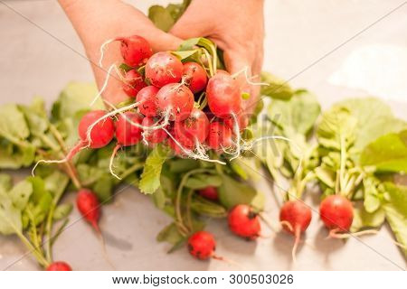 Radish In Hand. Hands Gardener. Work-worn Hands. Farmers Hands With Freshly Radish. Unwashed Radishe