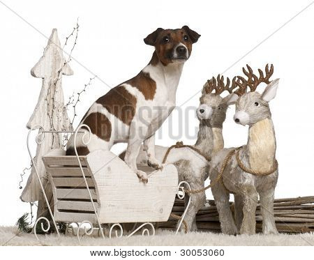 Jack Russell Terrier, 2 years old, in Christmas sleigh in front of white background